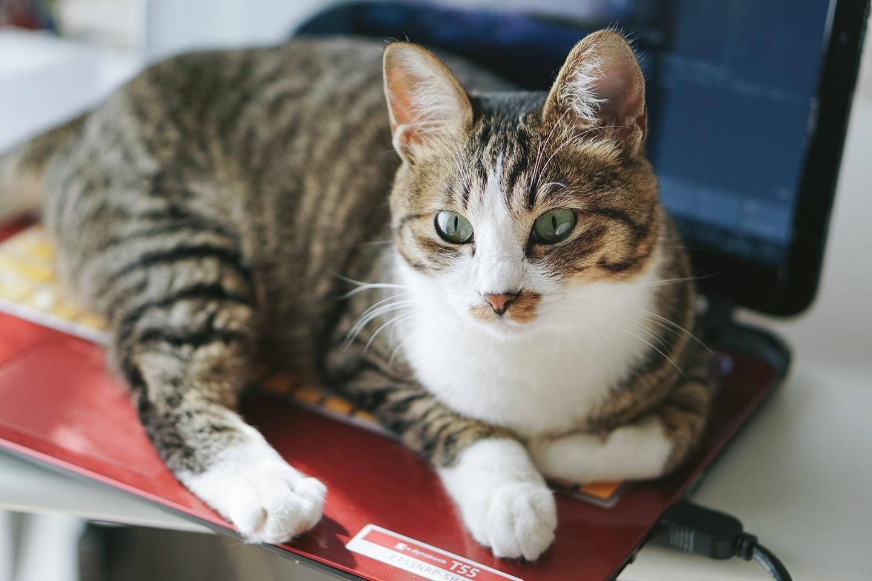 パソコンの上に乗っている猫の写真
