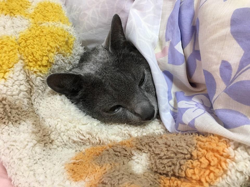 布団と毛布の間にいる猫の写真