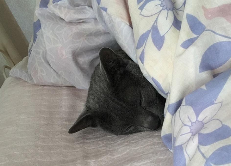猫が布団の中にいる写真