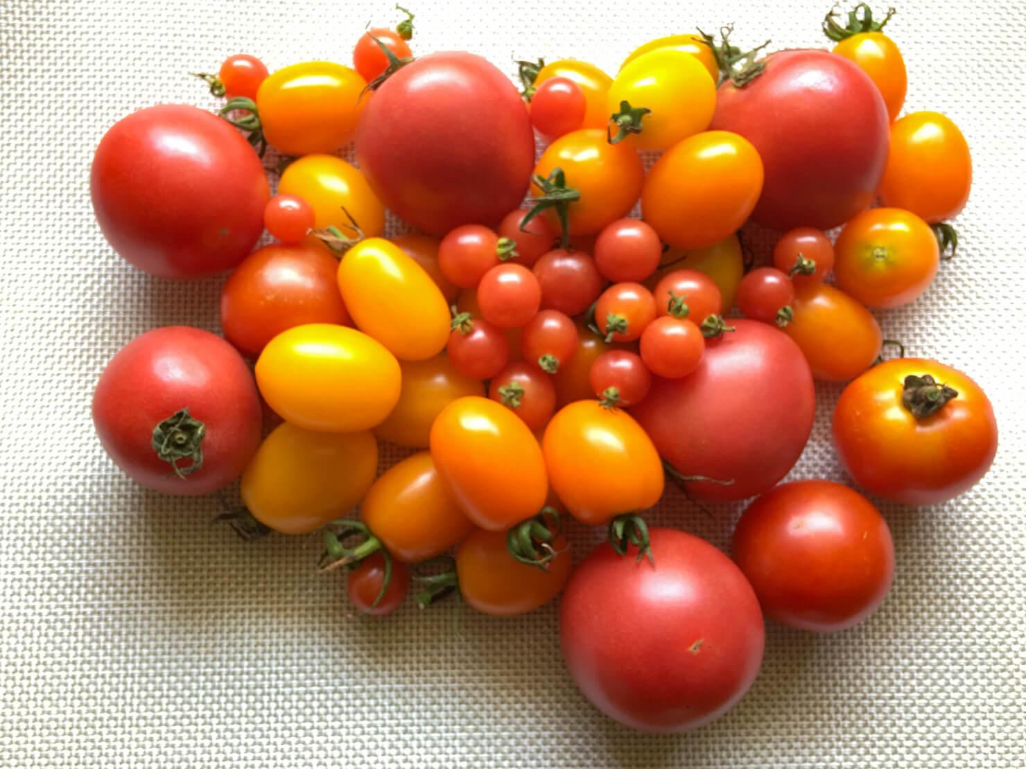 たくさんのトマトの写真