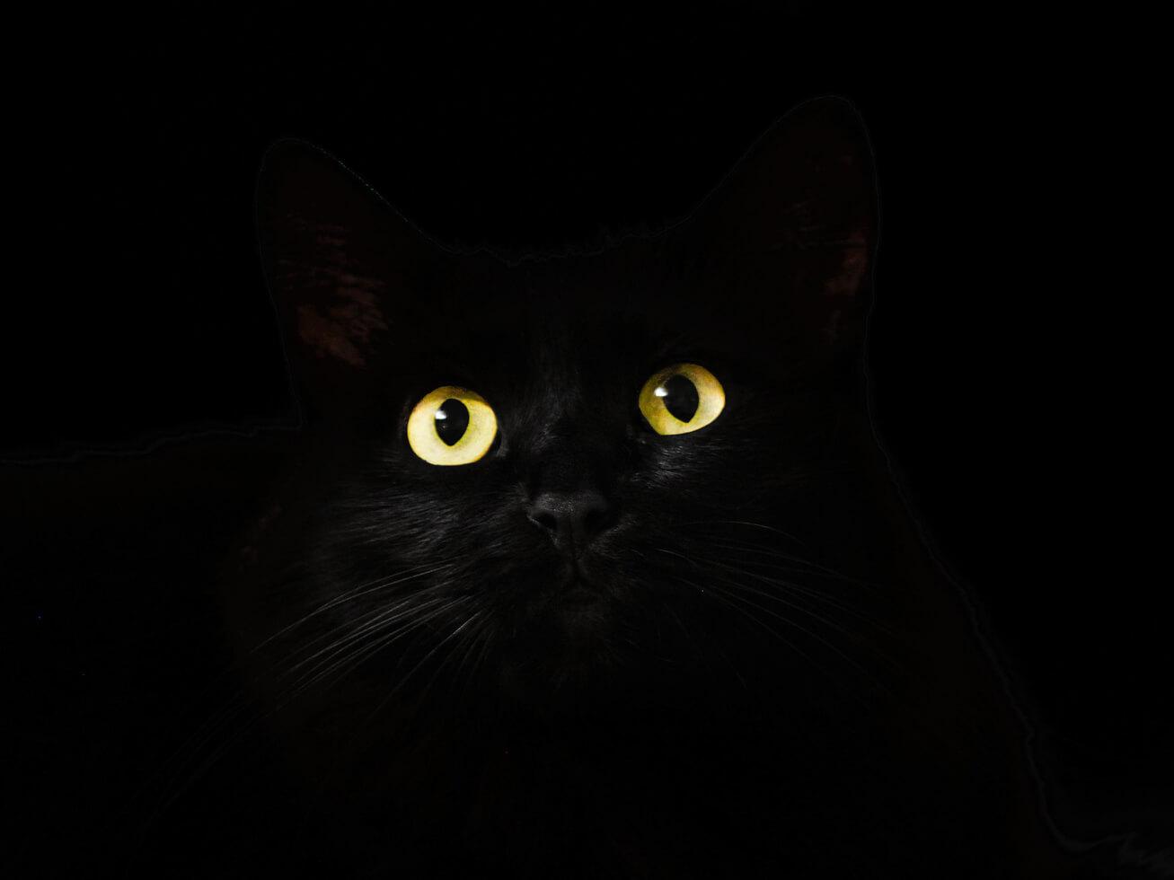目が光る黒猫の写真