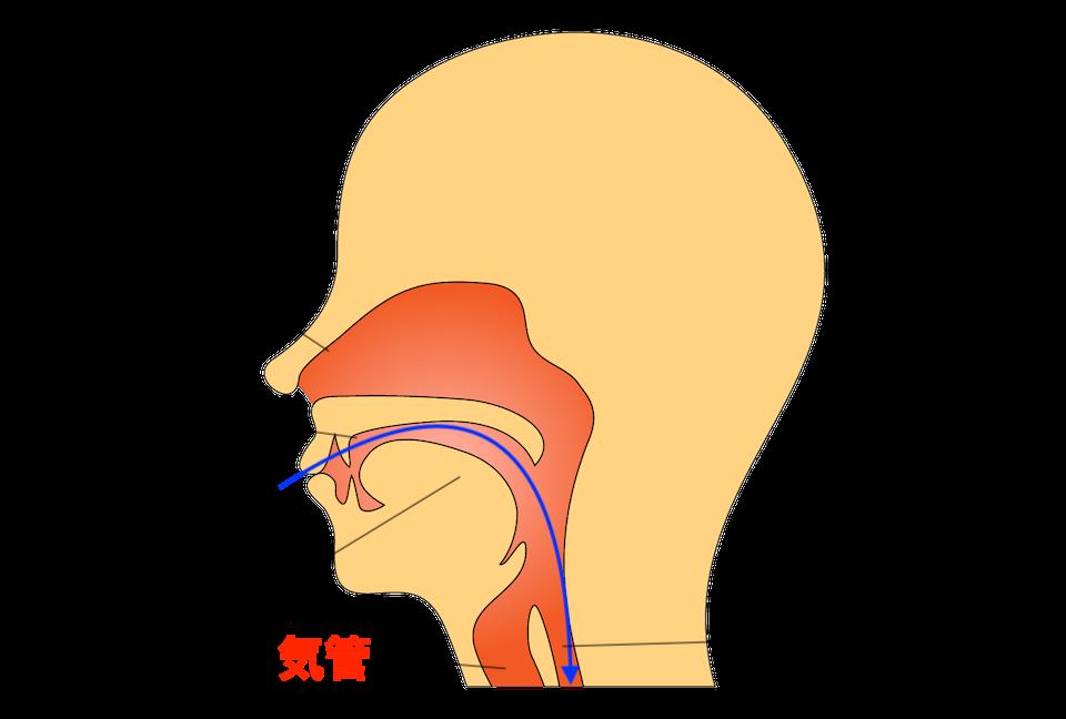 食道と気管の位置関係のイラスト(とださんによるイラストACより)