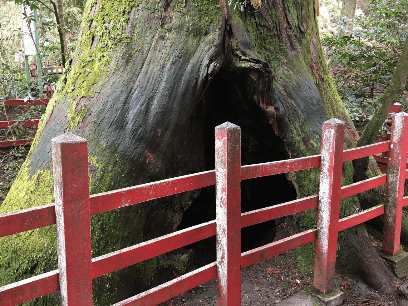 安産杉の写真