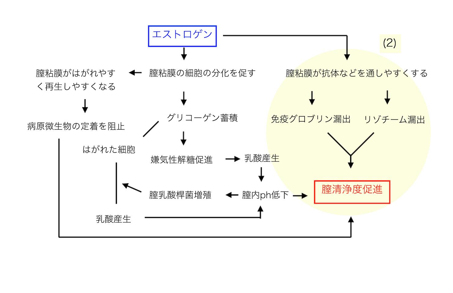 エストロゲンと膣内環境の関係の図