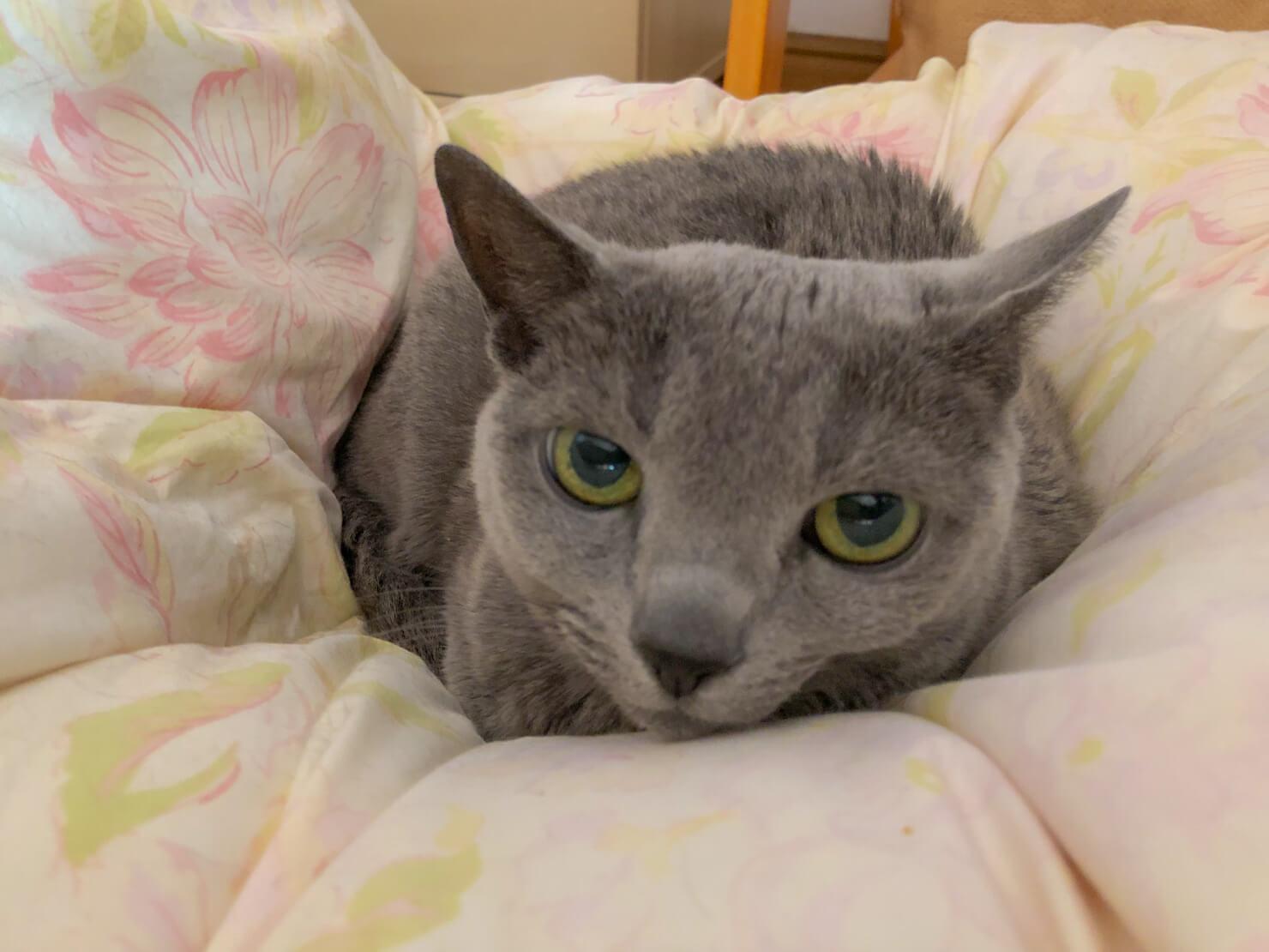 猫の顔のアップの写真