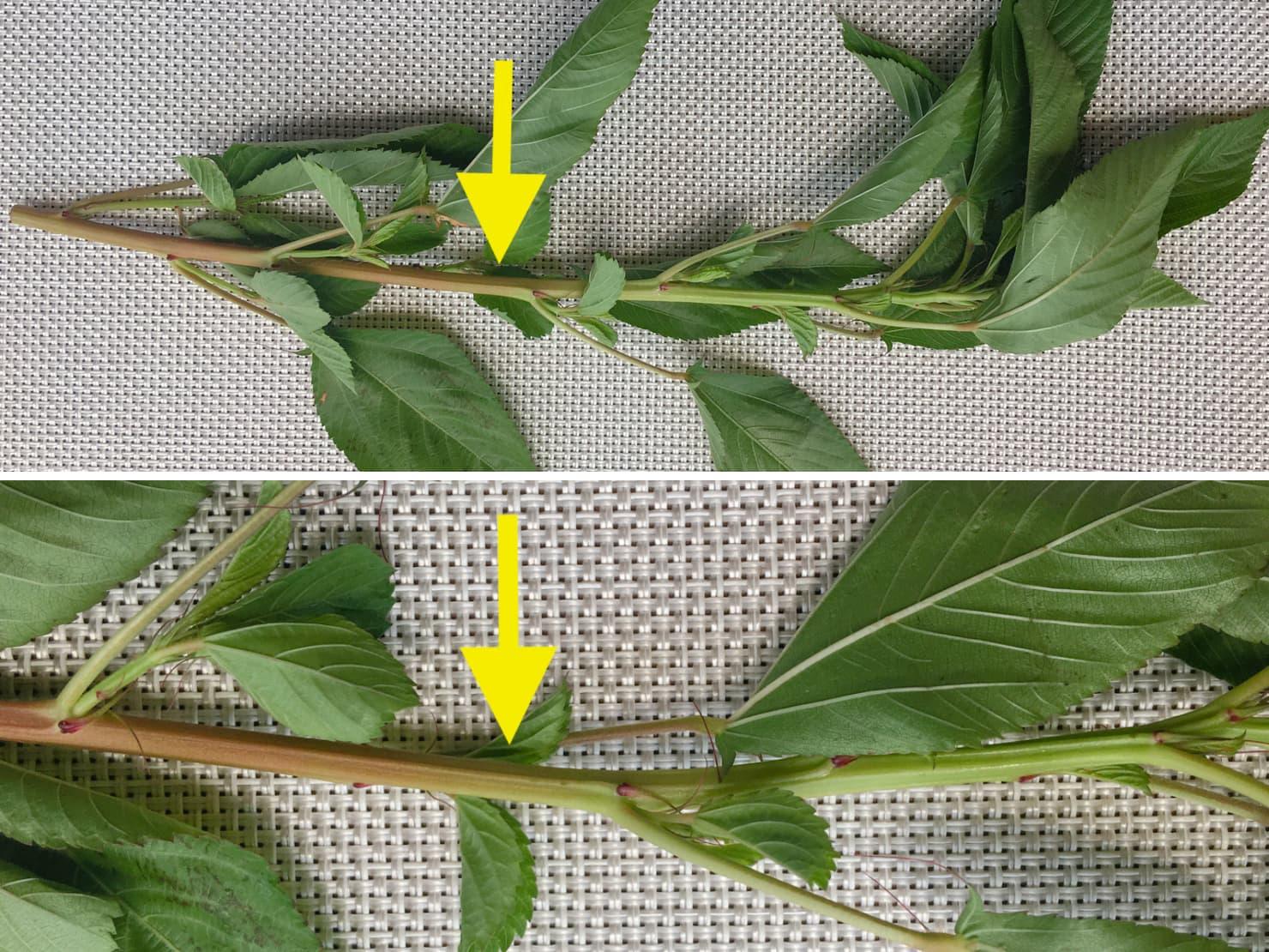 モロヘイヤの茎のかたい部分と柔らかい部分の写真